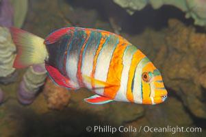 Harlequin tuskfish., Choerodon fasciatus, natural history stock photograph, photo id 12884