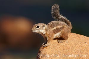 Harris' antelope squirrel. Amado, Arizona, USA, Ammospermophilus harrisii, natural history stock photograph, photo id 22905
