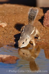 Harris' antelope squirrel, Ammospermophilus harrisii, Amado, Arizona