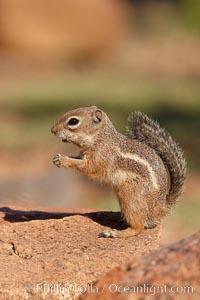 Harris' antelope squirrel. Amado, Arizona, USA, Ammospermophilus harrisii, natural history stock photograph, photo id 22995