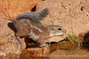 Harris' antelope squirrel. Amado, Arizona, USA, Ammospermophilus harrisii, natural history stock photograph, photo id 23007