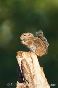 Harris' antelope squirrel. Amado, Arizona, USA, Ammospermophilus harrisii, natural history stock photograph, photo id 23028