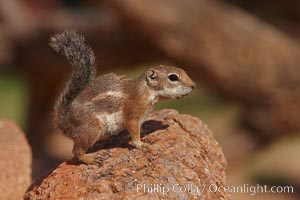 Harris' antelope squirrel. Amado, Arizona, USA, Ammospermophilus harrisii, natural history stock photograph, photo id 23044