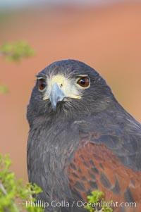 Harris hawk., Parabuteo unicinctus, natural history stock photograph, photo id 12156