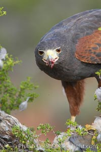 Harris hawk devours a dove., Parabuteo unicinctus, natural history stock photograph, photo id 12159