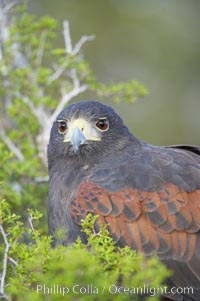 Harris hawk., Parabuteo unicinctus, natural history stock photograph, photo id 12163