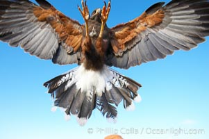Harris hawk landing.  This is the last thing a rabbit or groundhog sees before it is killed by a Harris hawk, Parabuteo unicinctus