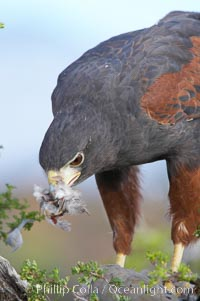 Harris hawk devours a dove., Parabuteo unicinctus, natural history stock photograph, photo id 12173