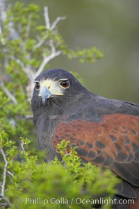 Harris hawk., Parabuteo unicinctus, natural history stock photograph, photo id 12178