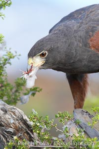 Harris hawk devours a dove., Parabuteo unicinctus, natural history stock photograph, photo id 12180