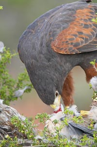 Harris hawk devours a dove., Parabuteo unicinctus, natural history stock photograph, photo id 12181