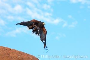 Harris hawk in flight, Parabuteo unicinctus