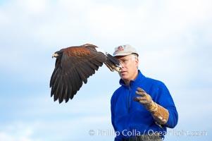 Harris hawk takes flight from the arm of his falconer, Parabuteo unicinctus