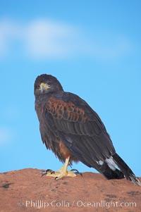 Harris hawk, Parabuteo unicinctus