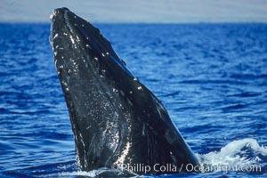 North Pacific humpback whale, escort, rostrum showing wounded tubercles. Maui, Hawaii, USA, Megaptera novaeangliae, natural history stock photograph, photo id 05869