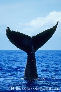 North Pacific humpback whale, fluke held above water, Megaptera novaeangliae, Maui