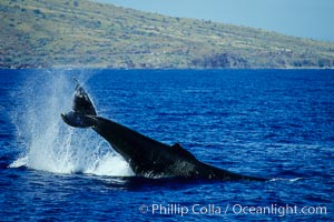 North Pacific humpback whale performing a peduncle throw, Megaptera novaeangliae, Maui