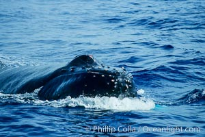 North Pacific humpback whale, escort, rostrum showing wounded tubercles, Megaptera novaeangliae, Maui