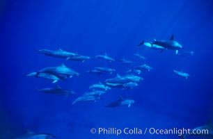 Hawaiian spinner dolphin. Lanai, USA, Stenella longirostris, natural history stock photograph, photo id 00324
