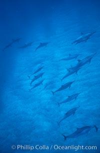 Hawaiian spinner dolphin. Lanai, USA, Stenella longirostris, natural history stock photograph, photo id 04984
