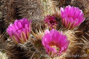 Springtime bloom of the hedgehog cactus (or calico cactus), Echinocereus engelmannii, Joshua Tree National Park, California
