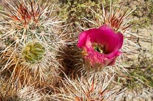 Hedgehog cactus blooms in spring. Joshua Tree National Park, California, USA, Echinocereus engelmannii, natural history stock photograph, photo id 11941