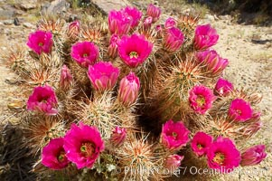 Hedgehog cactus blooms in spring. Joshua Tree National Park, California, USA, Echinocereus engelmannii, natural history stock photograph, photo id 11936