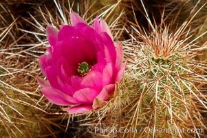 Hedgehog cactus blooms in spring. Joshua Tree National Park, California, USA, Echinocereus engelmannii, natural history stock photograph, photo id 11942