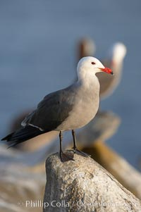 Heermanns gull, adult breeding plumage, Larus heermanni, La Jolla, California