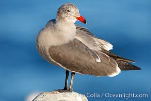 Heermanns gull, adult nonbreeding plumage, Larus heermanni, La Jolla, California