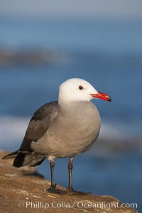 Heermanns gull, Larus heermanni, La Jolla, California