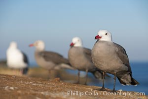 Heermanns gulls. La Jolla, California, USA, Larus heermanni, natural history stock photograph, photo id 18279