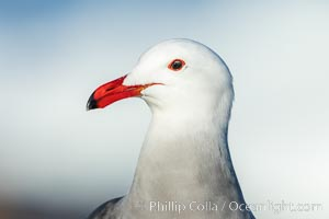 Heermanns gull portrait, La Jolla, California, Larus heermanni