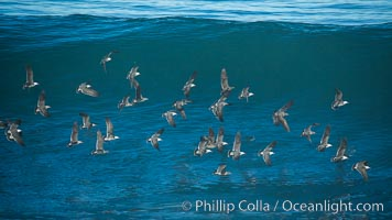 Flock of Heermanns gulls in flight in front of a big wave, Larus heermanni, La Jolla, California
