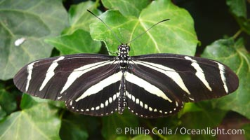 Zebra longwing butterfly, Heliconius charitonius