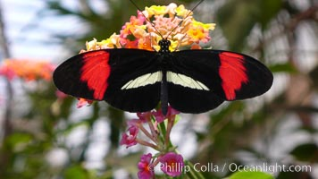 Small postman butterfly, Heliconius erato