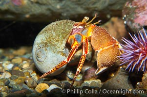 Hermit crab. Hermit crabs wear shells to protect their soft abdomens, which are asymmetrical and curved to fit the spiral shape of their shell. Like all crabs, hermit crabs are decapods; they have five pairs of legs, including a pair of claws. One claw is much larger than the other, the hermit crab uses it for defense and food shredding while it uses the smaller claw for eating. The second and third pairs of legs help the crab walk, and the last two pairs hold the hermit crab in its shell, Pagurus