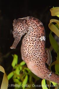 Seahorses, Hippocampus