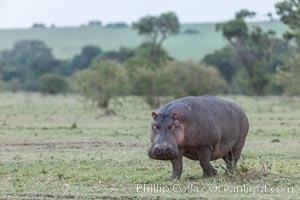 Hippopotamus, Olare Orok Conservancy, Kenya, Hippopotamus amphibius