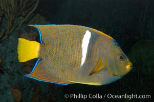 King angelfish., Holacanthus passer, natural history stock photograph, photo id 08816