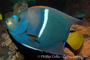 King angelfish., Holacanthus passer, natural history stock photograph, photo id 09225