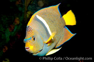 King angelfish., Holacanthus passer, natural history stock photograph, photo id 12891