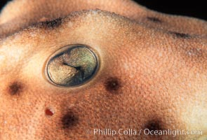 Image 04993, Horn shark eye. California, USA, Heterodontus francisci, Phillip Colla, all rights reserved worldwide. Keywords: animal, california, chondrichthyes, danger, elasmobranch, elasmobranchii, eye, fear, heterodontus francisci, horn shark, horned shark, jaws, ocean, outdoors, outside, predator, risk, sea, shark, shark anatomy, submarine, underwater, usa, wildlife.