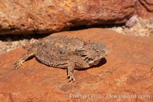 Horned lizard.  When threatened, the horned lizard can squirt blood from its eye at an attacker up to 5 feet away. Amado, Arizona, USA, Phrynosoma, natural history stock photograph, photo id 23052