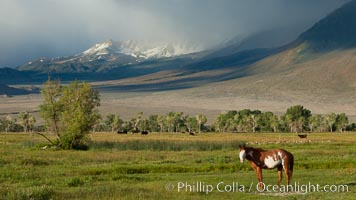 Horse and meadow near Round Valley, with Sierra Nevada mountains in the distance, Bishop, California