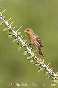 House finch, immature. Amado, Arizona, USA, Carpodacus mexicanus, natural history stock photograph, photo id 22919