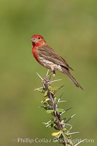 House finch, male. Amado, Arizona, USA, Carpodacus mexicanus, natural history stock photograph, photo id 22927