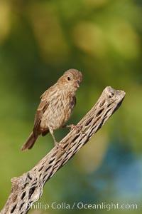 House finch, female. Amado, Arizona, USA, Carpodacus mexicanus, natural history stock photograph, photo id 22984