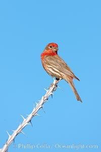 House finch, male. Amado, Arizona, USA, Carpodacus mexicanus, natural history stock photograph, photo id 22987