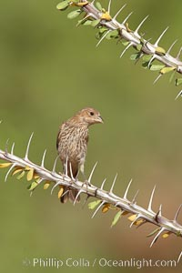 House finch, female. Amado, Arizona, USA, Carpodacus mexicanus, natural history stock photograph, photo id 22994